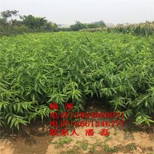 黑桃樹苗、黑桃樹樹苗新品種、黑桃樹樹苗多少錢一棵圖片