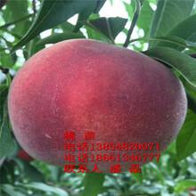 大紅桃桃樹苗、日本大紅桃桃樹苗新品種、日本大紅桃樹樹苗價格多少圖片