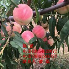 水蜜桃樹苗、新品種水蜜桃樹樹苗、水蜜桃樹樹苗價格多少圖片