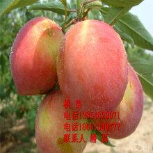 水蜜桃樹苗優質水蜜桃樹樹苗新品種水蜜桃樹樹苗價格圖片