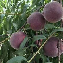 黑桃樹苗、優質黑桃樹苗新品種、黑桃樹樹苗價格多少圖片