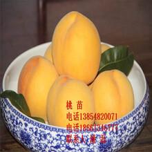 黃金蜜4號黃桃樹苗、黃金蜜4號黃桃樹樹苗新品種、黃金蜜4號黃桃樹苗多少錢一棵圖片