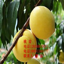 我想買黃桃樹苗、黃桃樹苗什么品種好、優質黃桃樹樹苗價格多少圖片