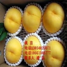 錦繡黃桃樹苗、錦繡黃桃樹苗多少錢一棵、山東錦繡黃桃樹苗新品種圖片