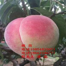 中华寿桃树苗、中华寿桃桃树苗新品种、中华寿桃桃树苗价格多少图片
