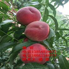 紅不軟桃樹苗、紅不軟桃樹苗新品種、紅不軟桃樹苗價格多少圖片