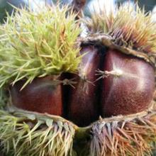 山東板栗苗種植圖片
