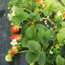 威海草莓苗基地批發圖片