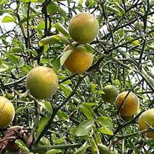 濰坊枸橘苗種植圖片