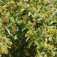 煙臺花椒苗種植圖片