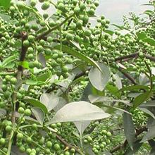 淄博花椒苗供貨商圖片
