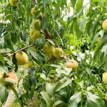 棗莊黃桃苗種植圖片