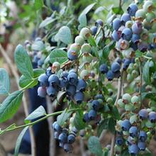 臨沂藍莓苗種植圖片