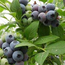 日照藍莓苗批發價格圖片