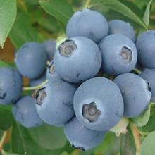 德州藍莓苗供貨商圖片