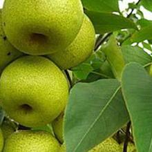 柱狀梨樹苗、柱狀梨樹苗新品種、柱狀梨樹樹苗價格多少、柱狀梨樹苗基地圖片