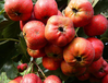 新品种山楂树苗、山楂树苗新品种、大金星山楂树苗价格多少