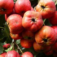 新品种山楂树苗、山楂树苗新品种、大金星山楂树苗价格多少图片