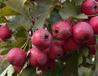 大棉球山楂树苗、大棉球山楂树树苗新品种、大棉球山楂树苗价格多少