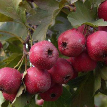 大棉球山楂樹苗、大棉球山楂樹樹苗新品種、大棉球山楂樹苗價格多少圖片