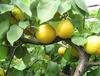 珍珠油杏樹苗、珍珠油杏樹苗新品種、珍珠油杏樹樹苗價格