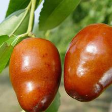 金絲小棗樹苗、金絲小棗樹樹苗新品種、金絲小棗樹樹苗多少錢一棵圖片