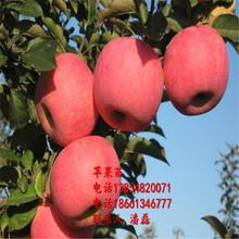 魯麗蘋果苗、魯麗蘋果樹苗新品種、魯麗蘋果樹苗價格多少圖片