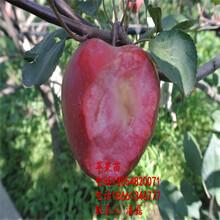 紅將軍蘋果樹苗、紅將軍蘋果樹苗新品種、紅將軍蘋果樹苗價格多少圖片