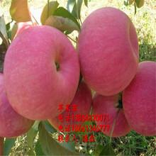 魯麗蘋果樹苗、魯麗蘋果樹樹苗新品種、魯麗蘋果樹樹苗價格多少圖片
