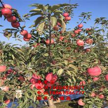 紅嘎啦蘋果樹苗、紅嘎啦蘋果樹苗新品種、紅嘎啦蘋果樹苗基地圖片