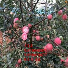 蘋果樹苗新品種、蘋果樹樹苗新品種、蘋果樹苗價格多少圖片