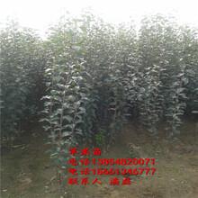 維納斯黃金蘋果苗、維納斯黃金蘋果樹苗、維納斯黃金蘋果樹苗新品種圖片