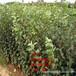 紅肉蘋果樹苗、紅肉蘋果樹樹苗新品種、紅肉蘋果樹樹苗價格多少