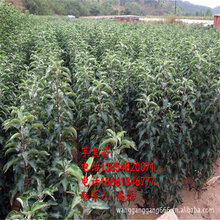 苹果树苗、优质苹果树苗新品种、红富士苹果树树苗新品种图片