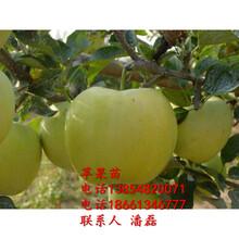 金帥蘋果樹苗、金帥蘋果樹苗新品種、金帥蘋果樹苗價格多少圖片