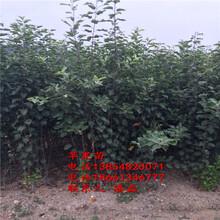蘋果樹苗新品種、優質蘋果樹樹苗新品種、優質紅富士蘋果樹苗多少錢一棵圖片