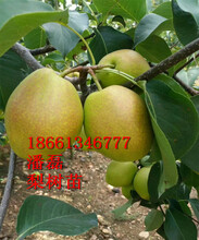 秋月梨樹苗、秋月梨樹苗新品種、秋月梨樹樹苗價格多少圖片