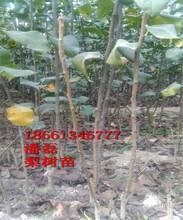 早酥紅梨樹苗、早酥紅梨樹樹苗新品種、早酥紅梨樹樹苗價格多少圖片