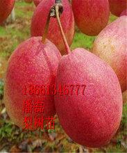 早酥红梨梨树苗、早熟红梨梨树苗新品种、早酥红梨梨树苗价格多少图片