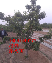 3公分梨樹苗多少錢、4公分梨樹苗多少錢、5公分梨樹苗多少錢、6公分梨樹苗多少錢一棵圖片