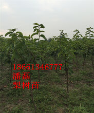 秋月梨树苗、秋月梨树苗新品种、秋月梨树树苗多少钱一棵图片
