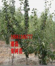 4公分梨樹苗、4公分梨樹樹苗多少錢一棵、4公分梨樹樹苗價格多少圖片