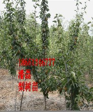 4公分梨树苗、4公分梨树树苗多少钱一棵、4公分梨树树苗价格多少图片