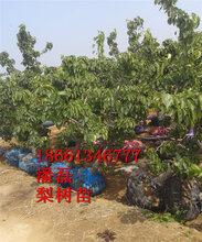 德州梨树苗供货商图片