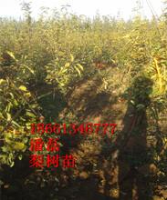 臨沂梨樹苗種植圖片
