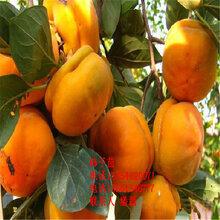 甜柿子树苗、甜柿柿子树苗新品种、甜柿柿子树树苗价格多少图片