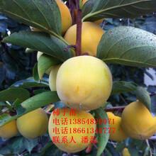 大秋柿子樹苗、大秋甜柿子樹苗新品種、大秋甜柿子樹苗價格多少圖片