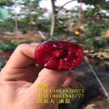 矮化大櫻桃樹苗、矮化大櫻桃樹苗新品種、矮化車厘子大櫻桃樹苗新品種圖片