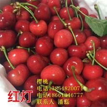 3公分櫻桃樹苗、3公分大櫻桃樹苗新品種、3公分大櫻桃樹苗價格多少圖片