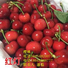 3公分樱桃树苗、3公分大樱桃树苗新品种、3公分大樱桃树苗价格多少